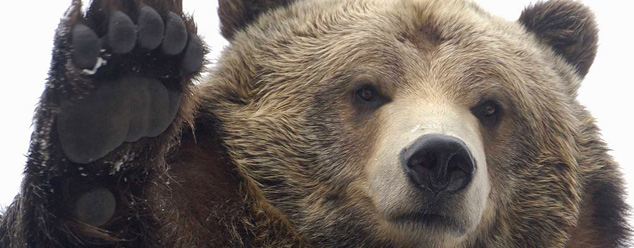 Звуки медведя