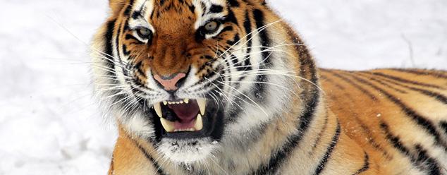 Звук тигра