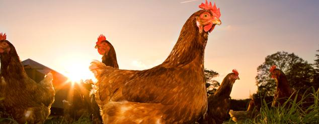 Звуки курицы