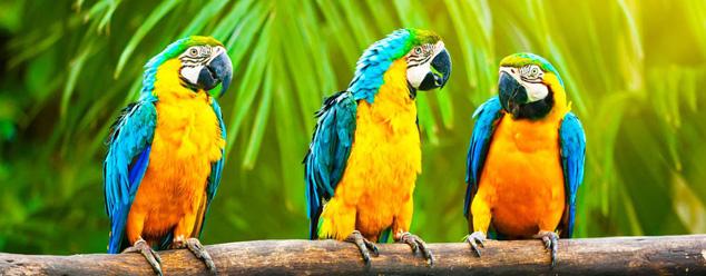 звуки попугая