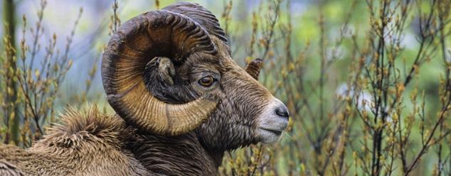 Звуки барана и овцы