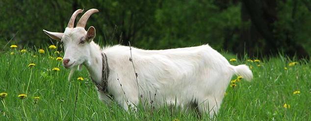 Звук козы. Звуки козла