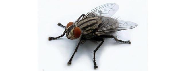 Звук мухи