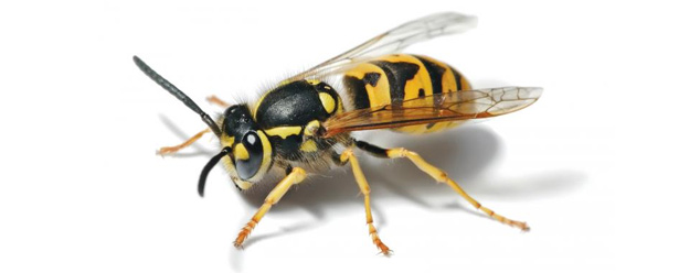 Звук осы