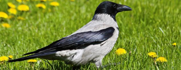 Звук вороны