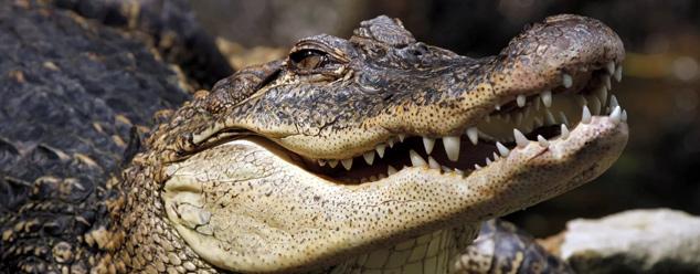 Звук крокодила