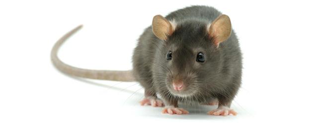 Звук крысы