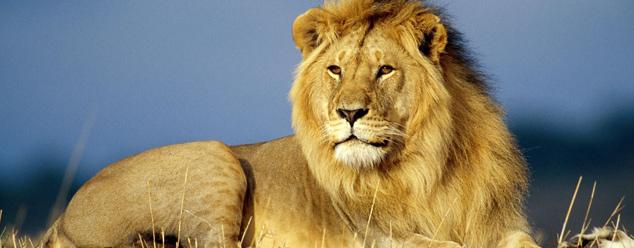 Звук льва