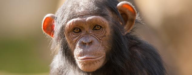 Звуки обезьян