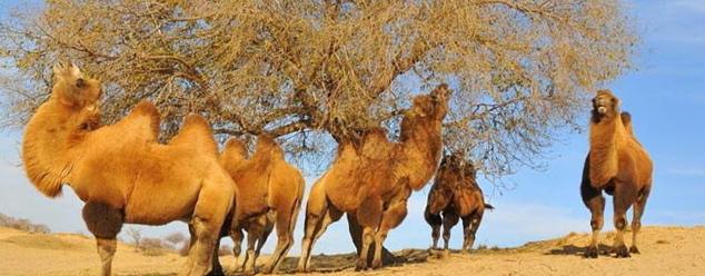 Звук верблюда