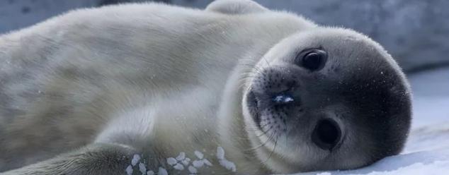 Звуки тюленя