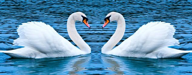 Звуки лебедей