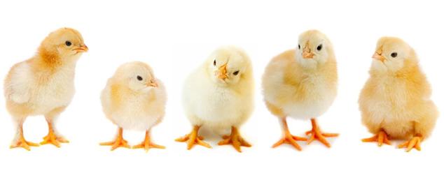 Звуки цыплят