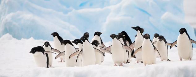 Звуки пингвина