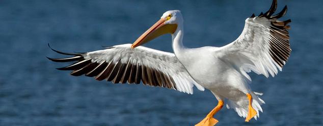 Звуки пеликана