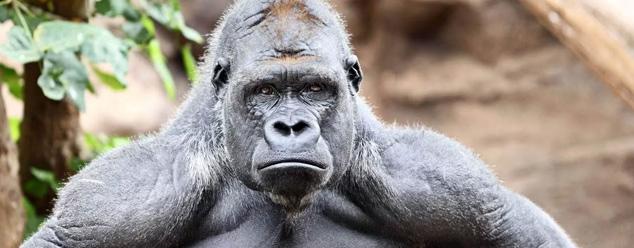 Звуки гориллы