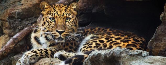 Звуки леопарда