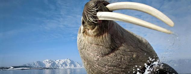 Звуки моржа