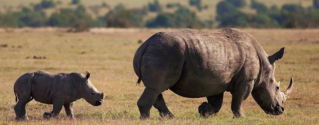 Звуки носорога