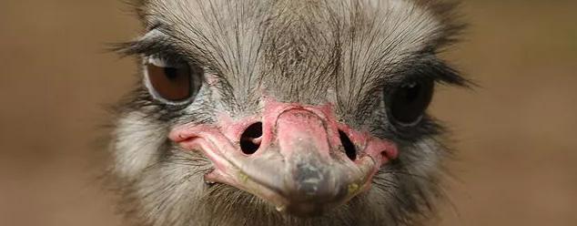 Звуки страуса