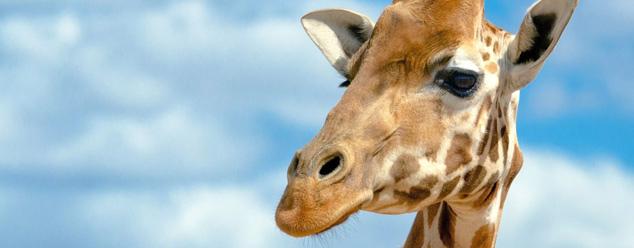 Звуки жирафа