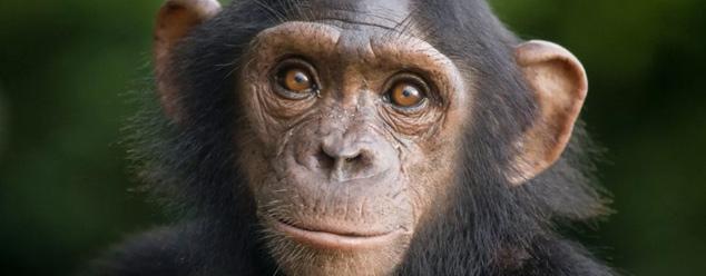 Звуки шимпанзе