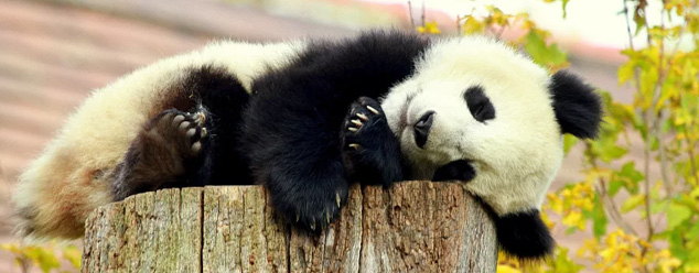 Звуки панды