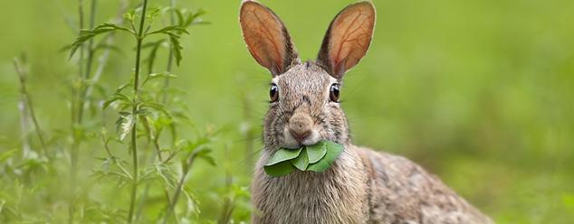 Звуки зайца