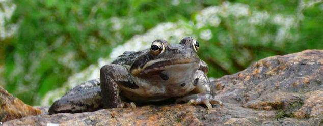 Звуки жабы