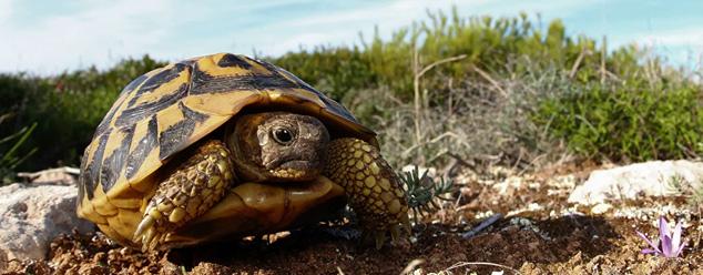 Звуки черепахи