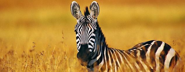 Звуки зебры