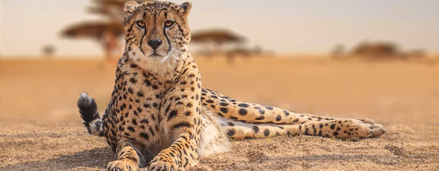 Звуки гепарда