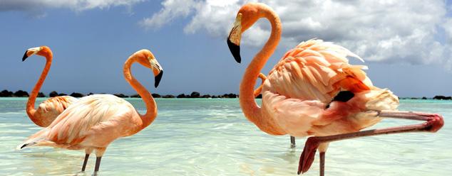 Звуки фламинго